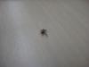 dead fruit fly